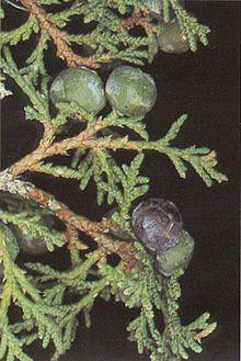 220px-Juniperus_thurifera.jpg