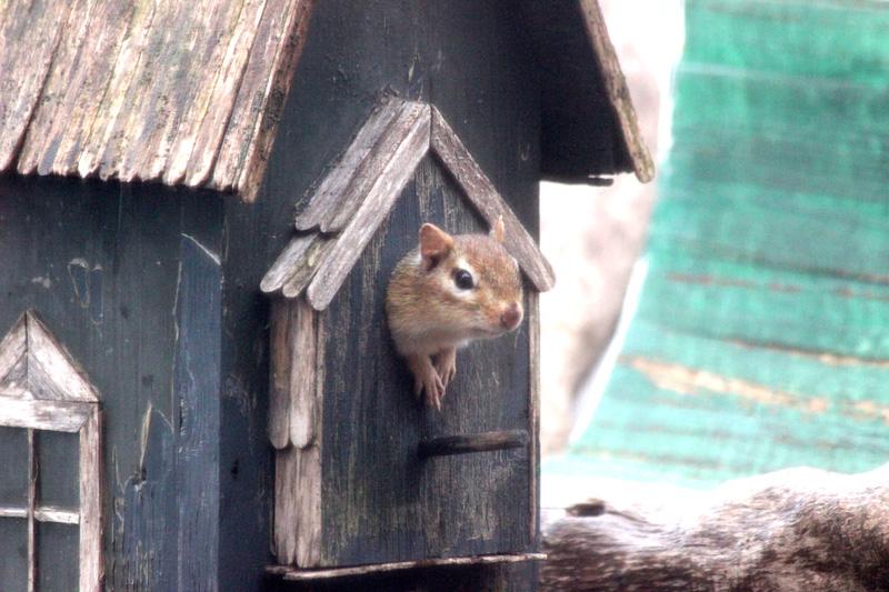 Chipmunk, small.jpg