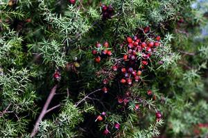 5a9ed1d5719a5_Juniperus_oxycedruslarge.jpg.847530924908d446f69ece2024780cd9.jpg