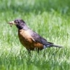 robinbird